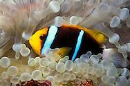 Orange-fin anemonefish, Amphiprion chrysopterus, Fiji, Pacific Ocean