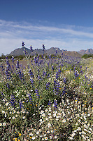 Big Bend Bluebonnet at Big Bend National Park, Texas. (Lupinus havardii).