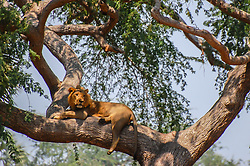"""A wild lion relaxes in the high branches of a winterthorn tree ( a rare sight) at Gorongosa National Park in Mozambique. The """"park"""" is also wild, with no fences."""