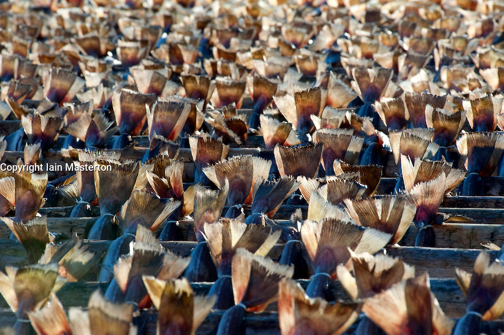 Fishtails of many cod drying on outdoor racks in Lofoten Islands in Norway