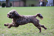 This is Alfie, a young cockerpoo (cocker spaniel crossed with a poodle) having a good run with a found sock in its mouth.