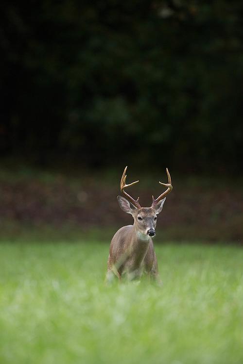 nc wildlife, nc wildlife photography, north carolina wildlife photography,          wildlife photographer, wildlife photography, neil jernigan, neil jernigan photography, whitetail deer, whitetail deer photography,
