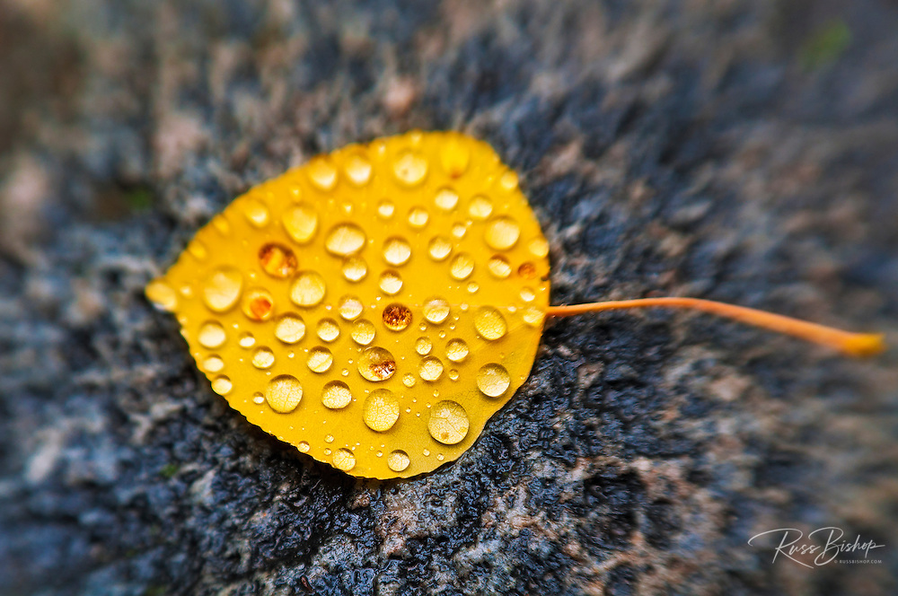 Fall aspen leaf detail, Inyo National Forest, Sierra Nevada Mountains, California USA