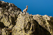 Wild goat in Sierra de Gredos (Spain)