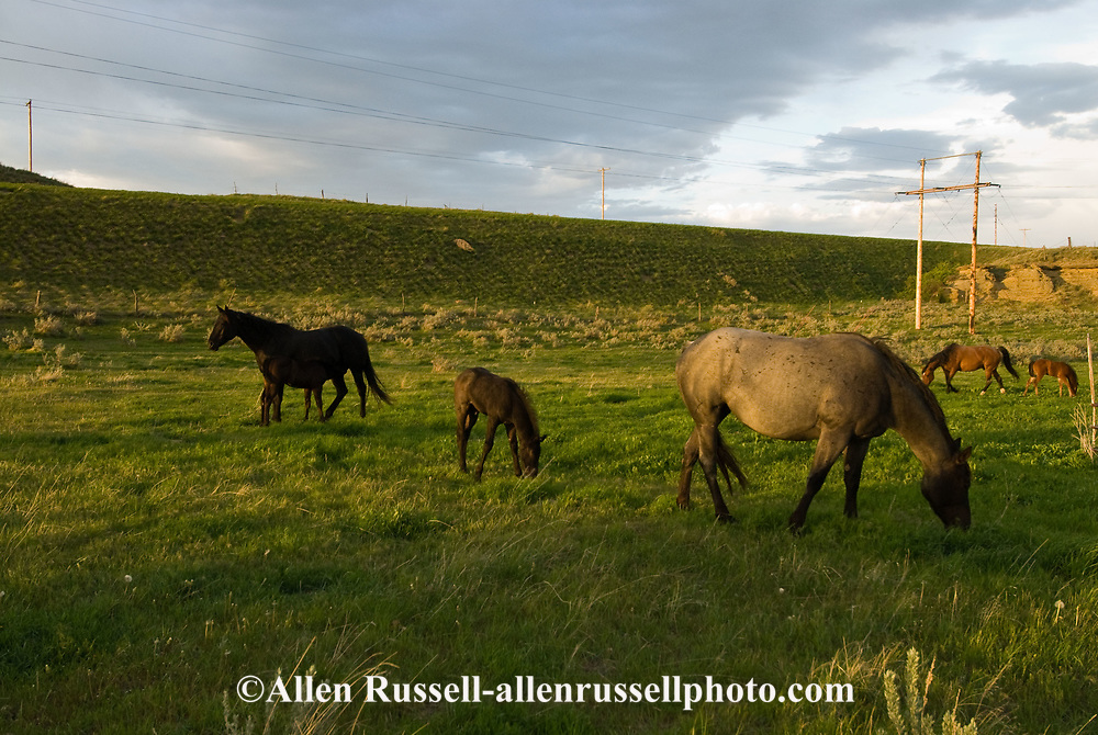 Quarter Horses, mares and foals