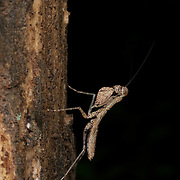 A cryptic forest praying mantis in Khao Ang Rue Nai Wildlife Sanctuary, Thailand.