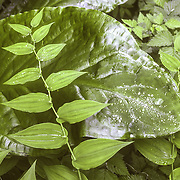 "Skunk cabbage is the definitive plant of the damp Southeast Alaskan terrain. It's large leaves and thick stems can be found anywhere where the ground is saturated enough both inside the forest and outside. Apart from its prominent appearance its distinctive musky smell is a prevalent feature in and around the forest. The distinctive odor attracts its pollinators, scavenging flies and beetles. The plant grows from rhizomes that measure 30 cm or longer, and 2.5 to 5 cm in diameter. The leaves are the largest of any native plant in the region, 50–135 cm long and 30–80 cm wide when mature. Its flowers are produced in a spadix contained within a large, bright yellow or yellowish green spathe 30–40 cm tall; it is among the first flowers to appear in spring.While some consider the plant to be a weed, its roots are food for bears, who eat it after hibernating as a laxative or cathartic. The plant was used by indigenous people as medicine for burns and injuries, and for food in times of famine, when almost all parts were eaten.Streptopus amplexifolius was used as a food plant by Native Americans in Eastern North America and as a medicine. The plant was referred to by early settlers of Eastern and Western North America as ""wild cucumber"" and as ""scoot berries"" for the mildly laxative effects of the berries if they are eaten in excessive quantities.<br />