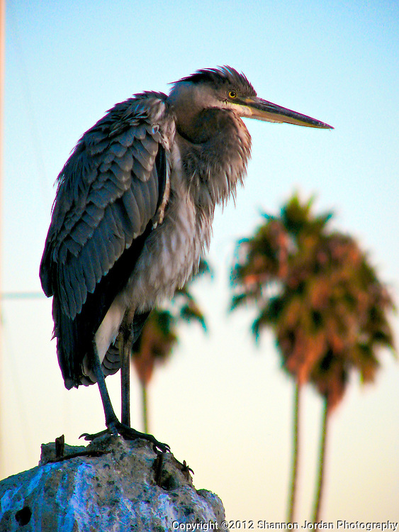 A Great Blue Heron sits perched on a rock in the Santa Barbara Harbor. The central coast of California is one of the most scenic areas of the United States. The natural beauty and wildlife are abundant and breathtaking. You can find more than 200 species of birds, both land and sea birds, on this scenic and spectacular stretch of California..The National Audubon Society lists Morro Bay and the central coast of California, including Santa barbara as a Globally Important Bird Area. Thousands of migratory birds spend part of the year here..Shorebirds such as marbled godwits, willets, curlews with their long curved bills and tiny sandpipers find a bountiful feast in the mudflats of the estuary at Morro Bay. Black brant geese migrate from spots on the Alaskan shore to feed on the rich eelgrass beds. Fluttering terns, brown pelicans, graceful egrets and herons are also part of the seasonal mix...