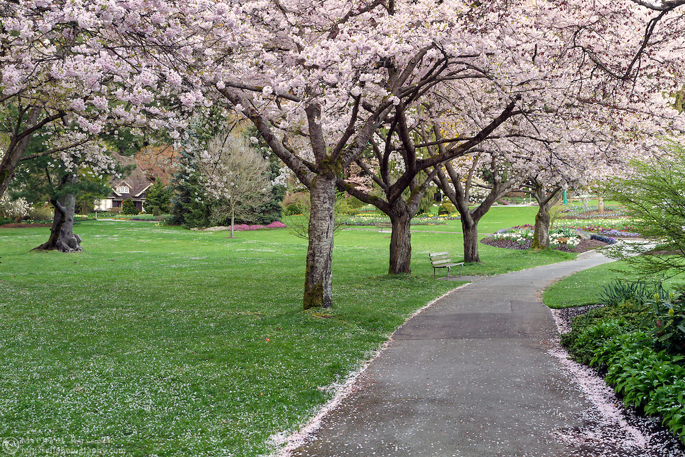 Cherry tree blossoms along the South Creek Trail in Stanley Park in Vancouver, British Columbia, Canada