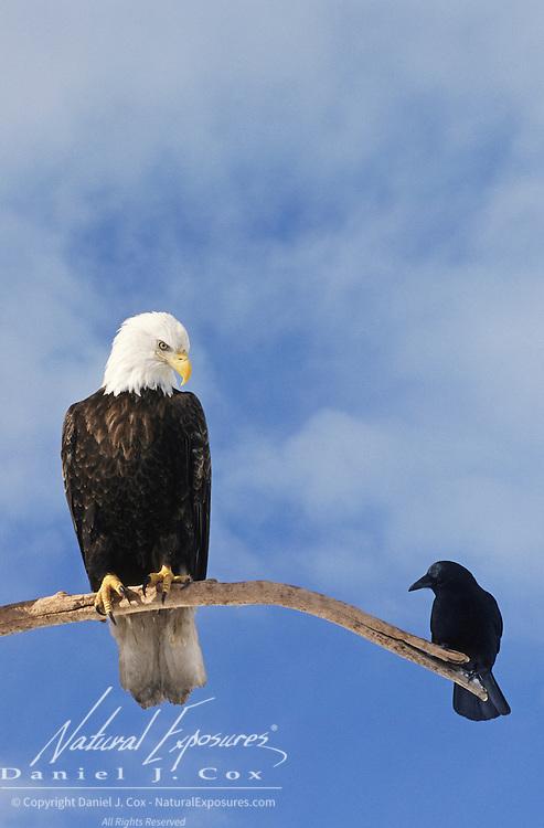 Bald Eagle (Haliaeetus leucocephalus) adult with a Northwestern Crow (Corvus caurinus). Alaska
