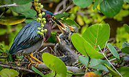 The green heron is relatively small; adult body length is about 17 in. The neck is often pulled in tight against the body. Adults have a glossy, greenish-black cap, a greenish back and wings that are grey-black grading into green or blue, a chestnut neck with a white line down the front, grey underparts and short yellow legs. The bill is dark with a long, sharp point