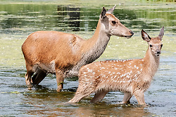 © Licensed to London News Pictures. 23/06/2017. Surrey, UK.  A deer fawn cools off in the water with its mother at Bushy Park in Surrey today 23rd June 2017.  Photo credit: Stephen Simpson/LNP