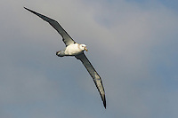 Shy Albatross in flight, Cape Canyon Trawl Grounds, South Africa