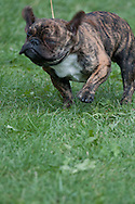French Bulldog Head Shake