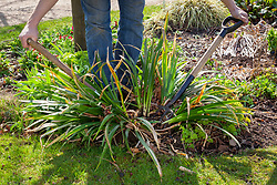 Dividing an overgrown perennial using the back to back fork method - Iris foetidissima (Stinking iris, Roast beef plant)