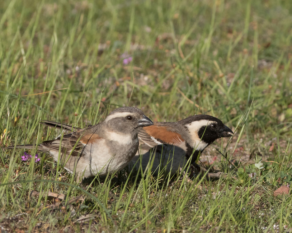 Passer melanurus, South Africa