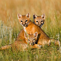 Swift Fox Babies.<br />