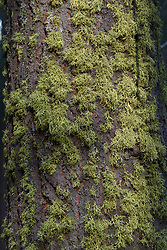 Moss growing on a tree, Sequoia National Park, California, United States of America