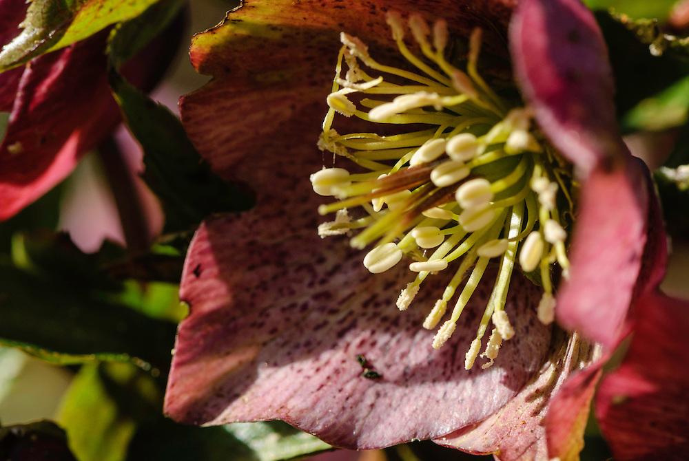 Oosters nieskruid, Helleborus orientalis CV