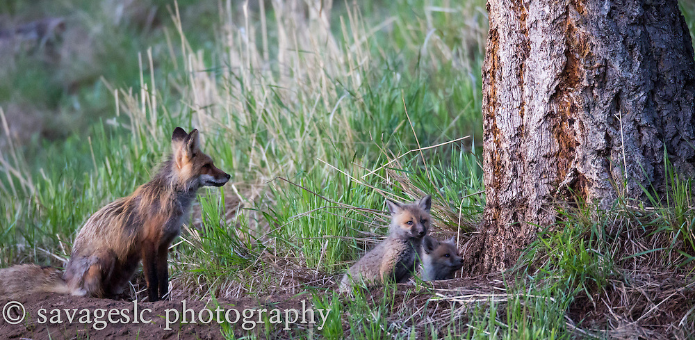 Mother fox and kits keep an eye on a trespassing badger.