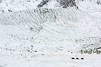 Grizzly bear mother and cubs in a late snowfall near the Columbia Icefields, Jasper National Park, Alberta, Canada
