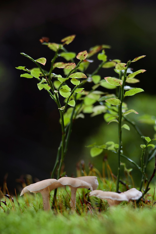 Mushrooms (Clitocybe dicolor) under green bushes agains a dark background