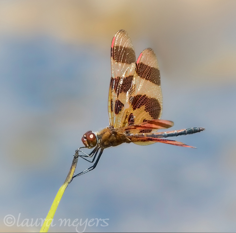 Halloween Pennant Dragonfly on a blade of grass in Manchester, Vermont