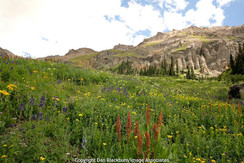 Wildflowers Blooming in Yankee Boy Basin San Juan Mountains Colorado
