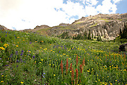 Wildflowers Blooming in Yankee Boy Basin San Juan Mountains Colorado