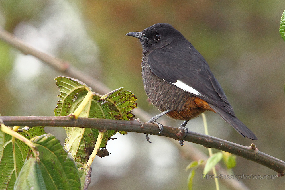 White-winged Cliff Chat, Monticola semirufus, Ethiopia, by Adam Riley