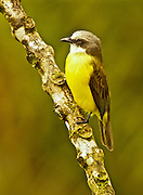 Gray-capped Flycatcher, myiozetetes granadensis, Cloud Forest, Monteverde, Costa Rica