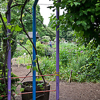 Blue and purple arched pipe arbor in a garden.
