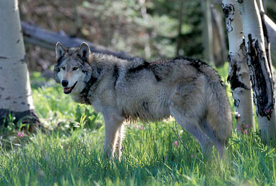 Gray Wolf, (Canis lupus) Adult in aspens. Montana. Spring. Captive Animal.
