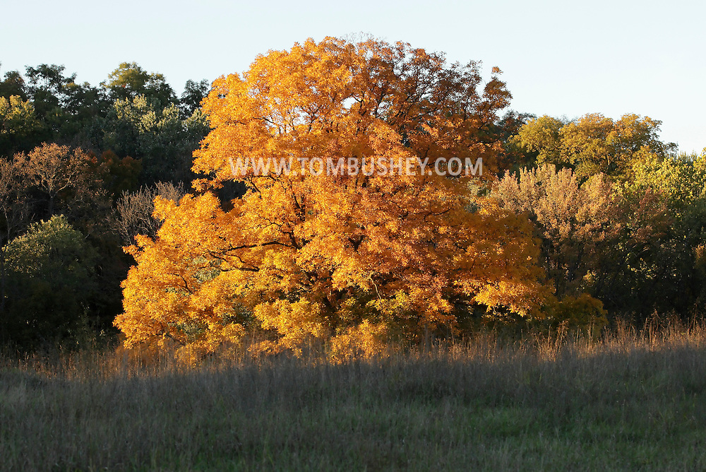 Salisbury Mills, New York - The setting sun shines on a colorful tree in a field A by the Moodna Viaduct on Oct. 13, 2010.
