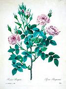 19th-century hand painted Engraving illustration of a pink rose bush Rosier pompon. Rosa pomponia. Choix Des Plus Belles Fleurs, Paris (1827). by Redouté, Pierre Joseph, 1759-1840.; Chapuis, Jean Baptiste.; Ernest Panckoucke.; Langois, Dr.; Bessin, R.; Victor, fl. ca. 1820-1850.