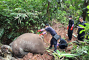 XISHUANGBANNA, CHINA - OCTOBER: 17 (CHINA OUT) <br /> <br /> An Elephant Is beheaded in Yunnan province of China<br /> <br /> Policemen examine corpse of a dead elephant at Mengla conservation area on October 17, 2014 in Xishuangbanna, Yunnan province of China. A male Asian elephant was killed by being beheaded with its ivories taken away near Mengla County. Local police station returns attractive money for people who give clues to catch the criminals. <br /> ©Exclusivepix