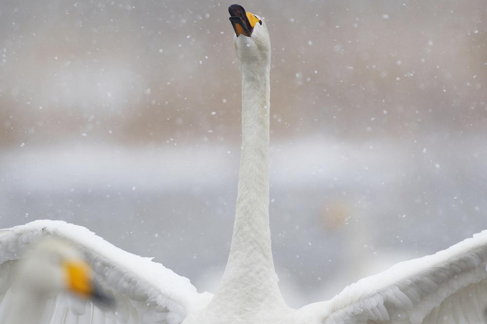 Whooper swan, Cygnus cygnus, Tysslingen Lake, Sweden