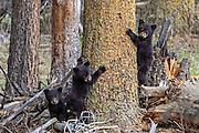 Three Black bear cubs climb a tree.