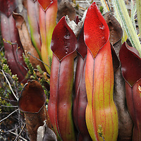 Heliamphora sarracenioides, a carnivorous pitcher plant endemic to a single tepui mountain in Venezuela. Bright colors and the offer of nectar attract insect prey. Canaima National Park, Venezuela.