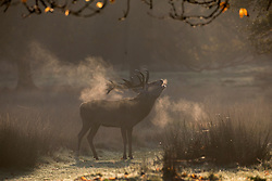 © Licensed to London News Pictures. 05/11/2017. LONDON, UK.  Deer at sunrise in Richmond Park on a bright autumn morning. Photo credit: IAN SCHOFIELD/LNP