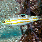 Puddingwife swim in open water just above and around reefs in Tropical West Atlantic; picture taken  Key Largo, FL.