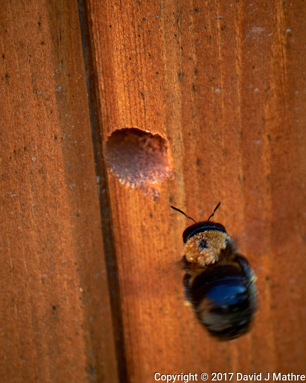 Carpenter Bee working on a new nest it is drilling in the wood. Backyard spring nature in New Jersey. Image taken with a Fuji X-T2 camera  and 100-400 mm OIS lens (ISO 200, 400 mm, f/6.4, 1/120 sec).