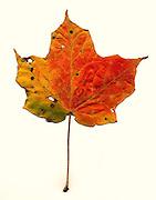 Fall leaf southeastern Ohio, red maple