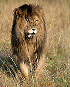A male lion (Panthera leo) with a damaged right eye on the savannah of Maasai Mara, kenya.