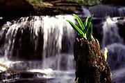 Conceicao do Mato Dentro_MG, Brasil...Detalhe de uma planta com cachoeira ao fundo, na regiao da Serra do Cipo...Detail of a plant with a waterfall in the background, in the Serra do Cipo region...Foto: LEO DRUMOND / NITRO