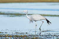 Blue Crane walking through shallow water, Overberg, Western Cape, South Africa
