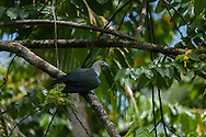 Marquesan imperial pigeon, Ducula galeata, also known as the Nukuhiva pigeon or upe.  Nuku Hiva, Marquesas Islands, French Polynesia.
