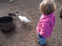 Toddler looking at ducklings at a farm.