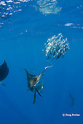 Atlantic sailfish, Istiophorus albicans, knocks one fish out of a bait ball of Spanish sardines (aka gilt sardine, pilchard, or round sardinella ), Sardinella aurita, off Yucatan Peninsula, Mexico ( Caribbean Sea ) #1 in sequence of 3 images