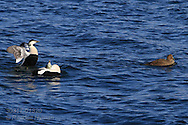 Two male eiders posture and croon for female in April at start of  breeding season; Kongsfjorden, Svalbard.